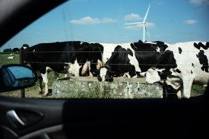 Voiture, vaches, éolienne : la ruralité de l'Avesnois près de Landecies.